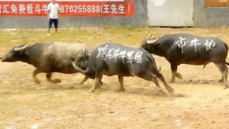三头牛混战, 打起来中间那头牛吃亏了, 被两边夹