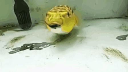 这鱼太厉害了啤酒罐都敢吃!