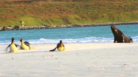 海豹在陆地上猛追企鹅, 网友: 这是我看过的最搞笑的捕食场面了!