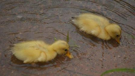 鸭妈妈带宝宝们跳瀑布, 小鸭子: 真是一条不归路
