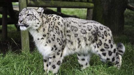 雪豹真是强大, 在悬崖峭壁上捕捉岩羊, 看起来是