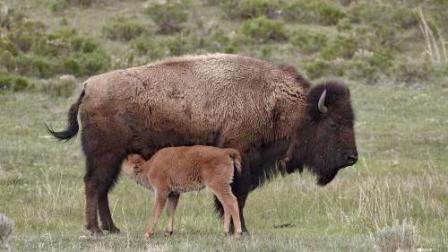 雪豹捕食小牛, 反遭野牛群包围, 动物版劫持人质