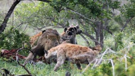 雄狮正大口的吃着羊肉, 突然屁股被啃了一口彻底