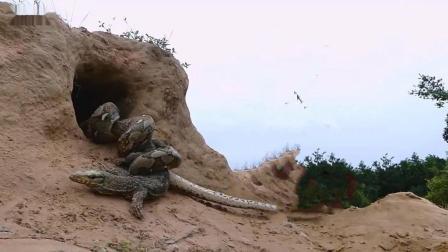 蟒蛇抓住偷蛋贼正准备美餐一顿, 谁料螳螂捕蝉黄