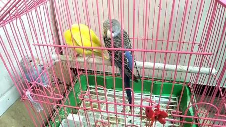 早上来看鸟, 还以为鸟笼子里有三个, 仔细看发现那个是在笼子外面