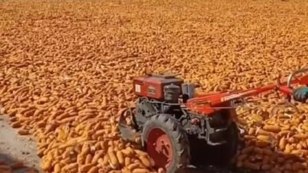 以前的北大荒, 现在的超级中国大粮仓, 玉米一尺多后用拖拉机去翻动