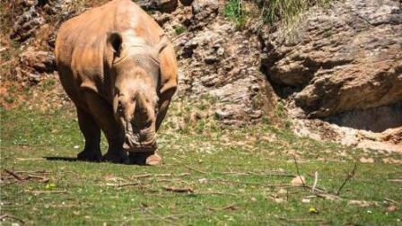 野牛被狮子追杀跑向犀牛求救, 犀牛直接跑了