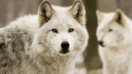 野狼以迅雷不及掩耳之势扑向火鸡, 结果差点上当