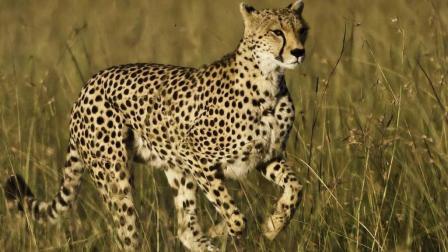 猎豹疯狂猛烈攻击鬣狗, 鬣狗敢欺负小猎豹, 这下
