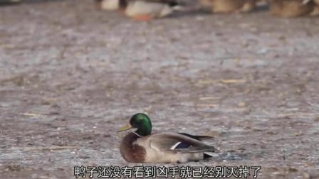 这只鸭子突然离奇死亡, 摄影师把镜头放慢20倍才