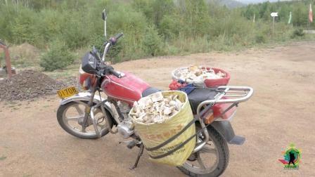 采蘑菇一天赚两千? 大兴安岭的野生蘑菇, 真正的山珍野味