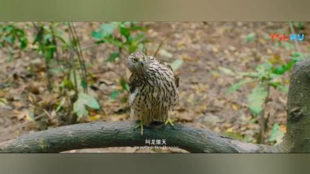 为了突破肉体极限, 两人熬鹰, 把鹰熬挂了……