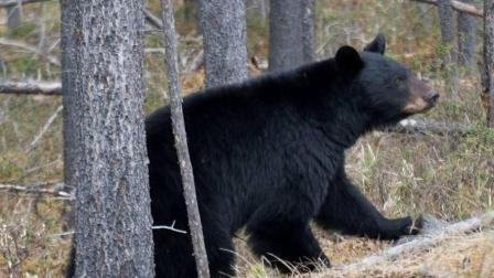 狗熊为了自由, 可所谓练就了一身的攀爬的本领呢