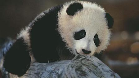 原来还有这个操作, 幼崽熊猫新式越狱法。