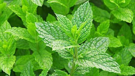 这种不起眼的叶子 泡茶时放几片 治疗感冒咳嗽比药好多了