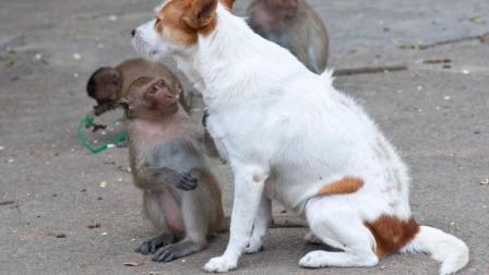 狗子挑衅猴子, 结果被打得落荒而逃