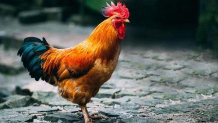 好战公鸡常主动 攻击人 村里至少有20人被公鸡王
