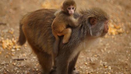 猴妈妈一点都不在乎猴宝宝