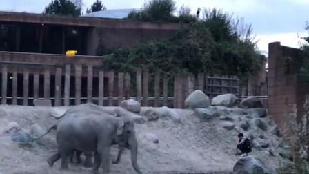 丹麦一男子闯入动物园大象圈内安全逃脱