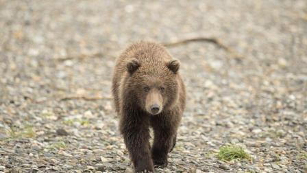 熊妈妈为了找吃的被石头砸死, 可怜的熊宝宝被吓