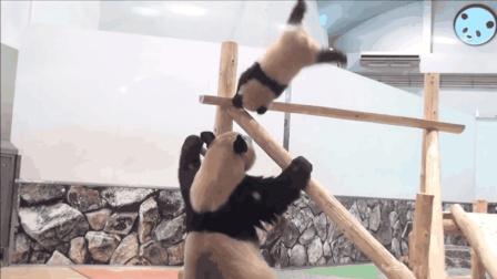 熊猫宝宝想从木架下来, 妈妈却眼睁睁看它这样摔下, 心疼死了