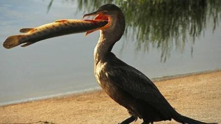 难得一见的视频: 鱼吃鸟!