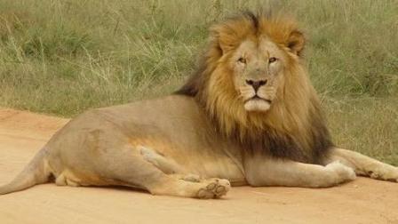 你见过吗? ! 狮子的最强敌手