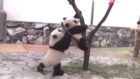 """两只熊猫宝宝为争夺""""地盘""""打架! 输的那个还跑到妈妈跟前告状!"""