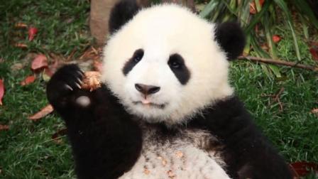 熊猫宝宝美滋滋吃着零食, 不经意间的动作, 真是
