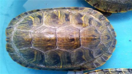 乌龟的壳到底是怎么来的? 别争了, 进化论给出了答案