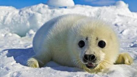 海豹妈妈教小海豹水中生存技巧, 海豹宝宝并不是