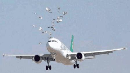 普通小鸟撞上飞机真的会发生坠机吗? 网友: 结果不容小觑