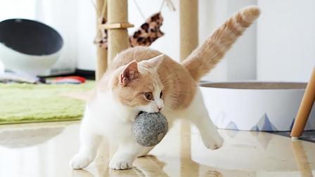 这猫虽然腿短, 疯起来跟狗子差不多! 跟它玩游戏? 没法玩~
