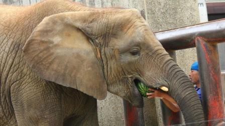 大象和河马一起吃西瓜, 谁更快?