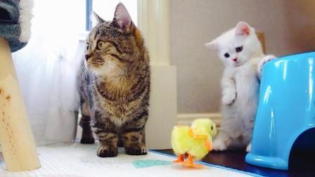 猫咪们第一次看到小鸡: 小短腿吓得都站起来了