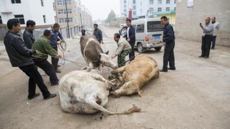农村杀牛的时候, 为什么牛会跪地流泪? 看完一阵心酸