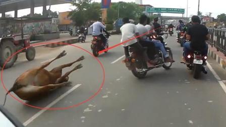 牛在印度是最神圣的动物, 开车撞到一头圣牛怎么办? 你猜不到后果