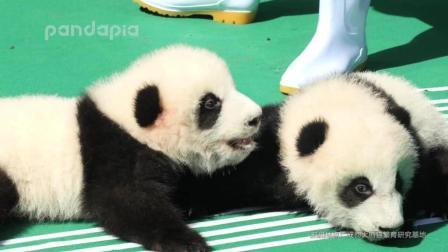 2018年9月28日, 成都大熊猫繁育研究基地为2018年新生熊猫宝宝举行亮相活动