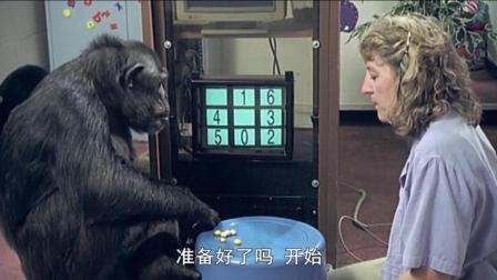 科学家训练的黑猩猩有多厉害? 是时候见识一下真正的力量了!