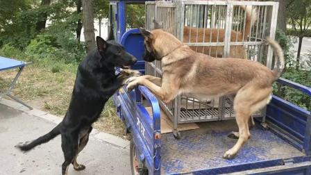 狗市上拍到两条正互相亲热的马犬和东德牧羊犬, 它们似乎关系挺好