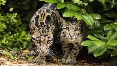 【科普云豹】最痴情的猫科动物, 一生只有一个配偶