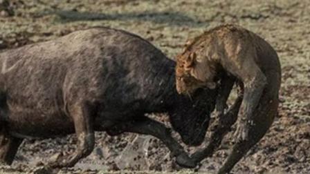 狮子被野牛围攻, 直接被野牛群KO! 镜头拍下全过程!