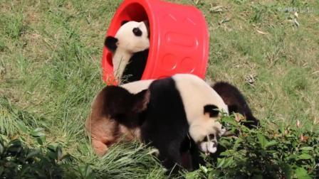大熊猫和和九九: 一对活泼的熊猫姐妹花