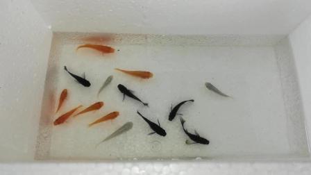 粉丝一直让我养鱼, 今天开箱15只小金鱼, 三天快递运输, 到了后一条都没死