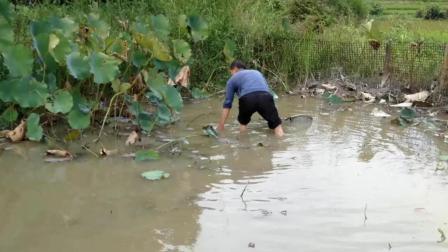 水田里的草鱼养了一年, 究竟长多大了? 一起去看看老农下水抓大鱼
