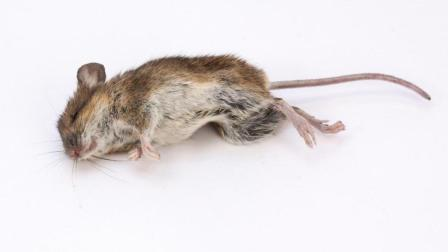 灭老鼠不要用药, 只需一张纸, 抓老鼠很简单, 方法安全又高效