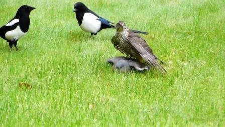 喜鹊挑战恶鸟营救鸽子, 勇敢而惊险