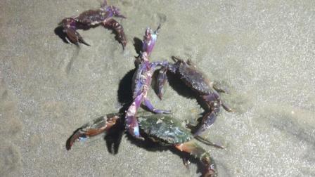 渔村小马: 小伙赶海抓了很多螃蟹, 又能吃一顿螃蟹大餐了