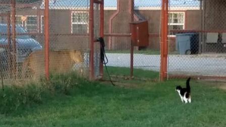 小猫咪在外面挑衅狮子! 猫咪: 你出来呀, 狮子: 有本事你进来!