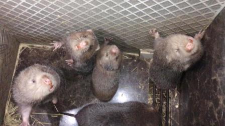 去看朋友养的竹鼠, 发现其中的罕见品种要500块钱一只, 你见过吗